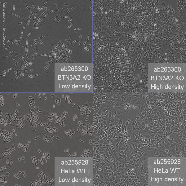 Cell Culture - Human BTN3A2 knockout HeLa cell line (ab265300)