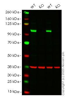 Western blot - Human VAV2 knockout HeLa cell line (ab265318)