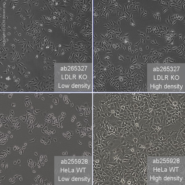 Other - Human LDLR knockout HeLa cell line (ab265327)
