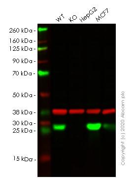 Western blot - Human AK4 knockout HeLa cell line (ab265331)