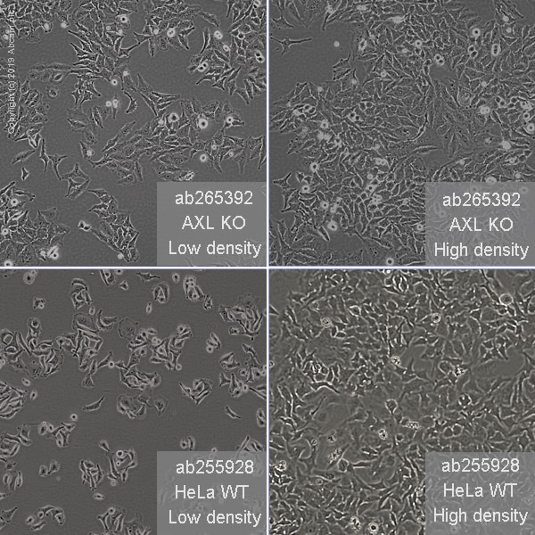 Cell Culture - Human AXL knockout HeLa cell line (ab265392)