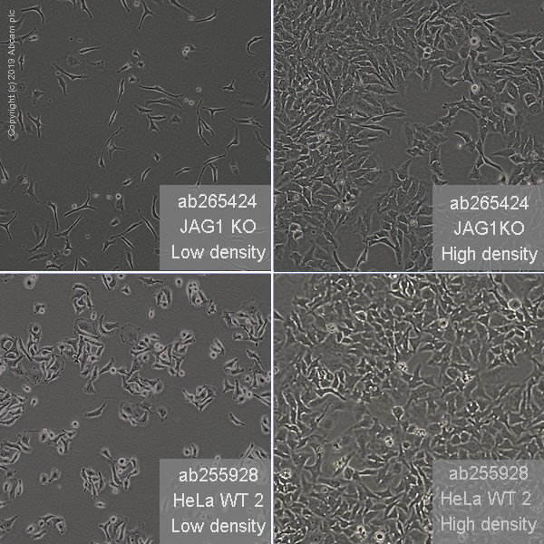 Other - Human JAG1 knockout HeLa cell line (ab265424)
