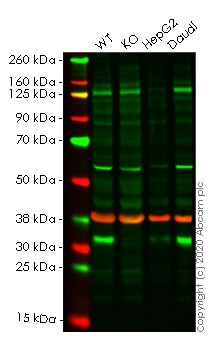Western blot - Human RCHY1 knockout HeLa cell line (ab265478)