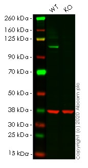 Western blot - Human MAPK7 (ERK5) knockout HeLa cell line (ab265508)