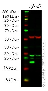 Western blot - Human FTL knockout HeLa cell line (ab265534)
