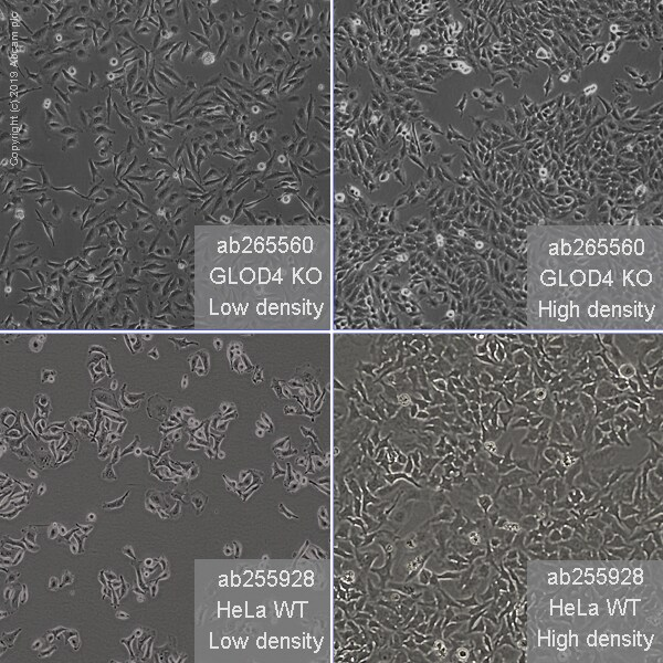 Other - Human GLOD4 knockout HeLa cell line (ab265560)