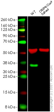Western blot - Human SCAMP1 knockout HeLa cell line (ab265567)