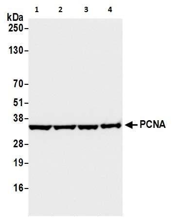 Western blot - Anti-PCNA antibody [PC10] (ab265585)