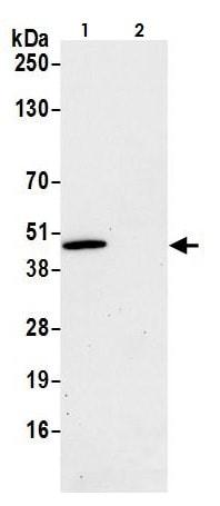 Immunoprecipitation - Anti-MEK2 antibody (ab265586)