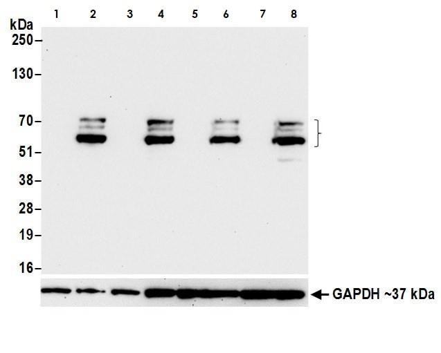 Western blot - Anti-SOX10 antibody (ab265587)