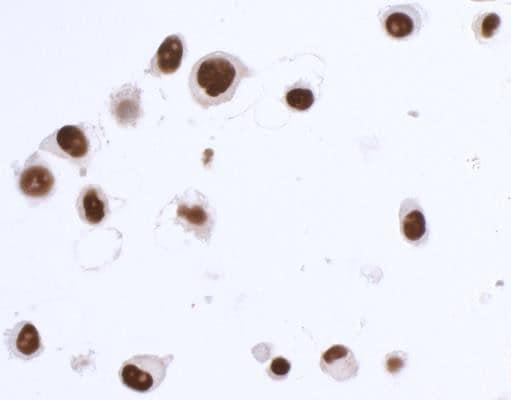 Immunocytochemistry - Anti-SOX10 antibody (ab265587)
