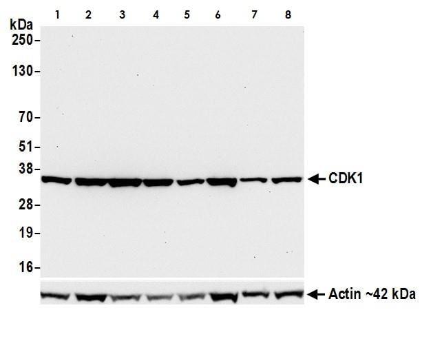 Western blot - Anti-CDK1 antibody (ab265590)