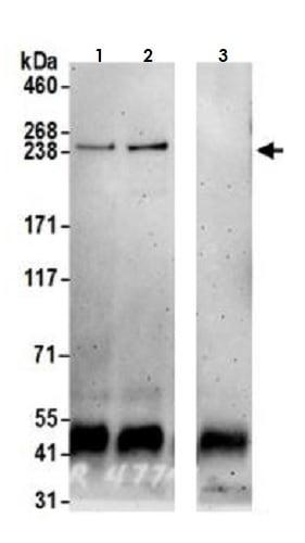Immunoprecipitation - Anti-mTOR antibody (ab265599)