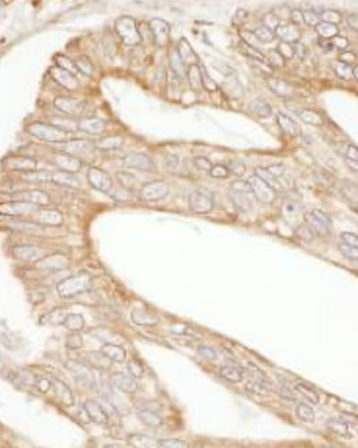 Immunohistochemistry (Formalin/PFA-fixed paraffin-embedded sections) - Anti-Calnexin antibody (ab265602)