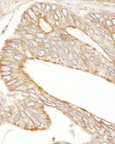 Immunohistochemistry (Formalin/PFA-fixed paraffin-embedded sections) - Anti-Calnexin antibody (ab265603)