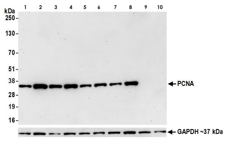 Western blot - Anti-PCNA antibody (ab265609)