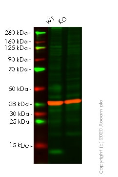 Western blot - Human LAMTOR3 knockout HeLa cell line (ab265624)