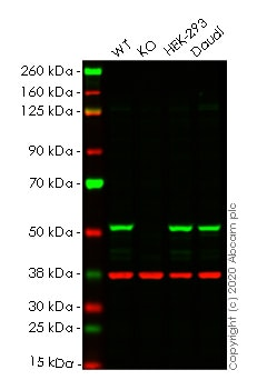Western blot - Human PPP2R5E knockout HeLa cell line (ab265637)