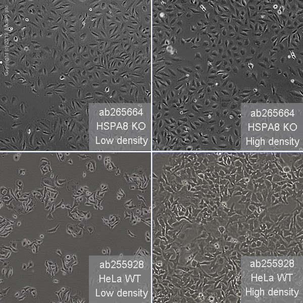 Cell Culture - Human HSPA8 (Hsc70) knockout HeLa cell line (ab265664)