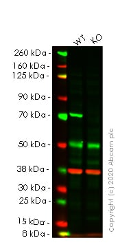 Western blot - Human SLC25A13 (Citrin) knockout HeLa cell line (ab265668)