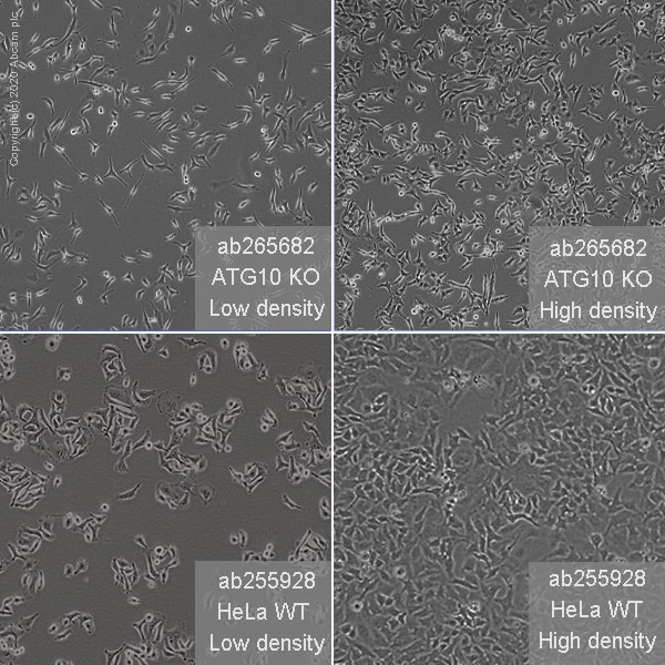 Cell Culture - Human ATG10 knockout HeLa cell line (ab265682)
