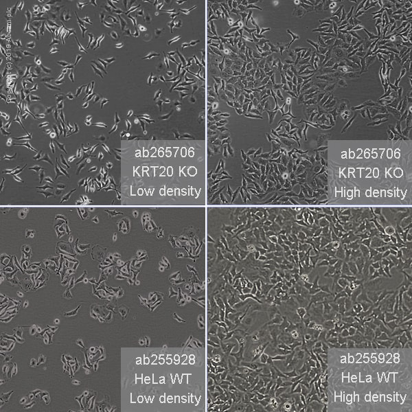 Other - Human KRT20 knockout HeLa cell line (ab265706)