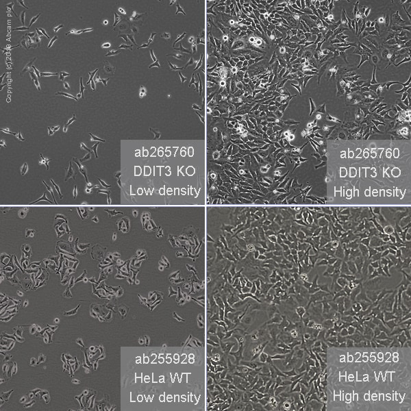 Cell Culture - Human DDIT3 knockout HeLa cell line (ab265760)
