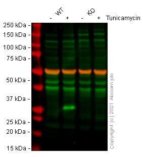 Western blot - Human DDIT3 knockout HeLa cell line (ab265760)