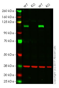 Western blot - Human KDM1A knockout HeLa cell line (ab265790)