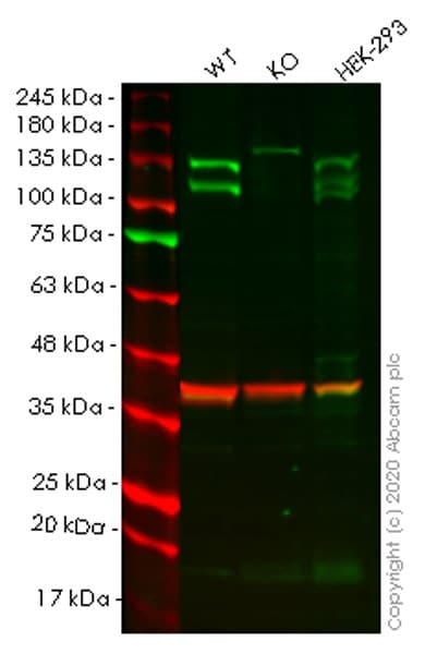 Western blot - Human ARHGEF2 knockout HeLa cell line (ab265797)
