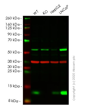 Western blot - Human LAMTOR2 knockout HeLa cell line (ab265828)