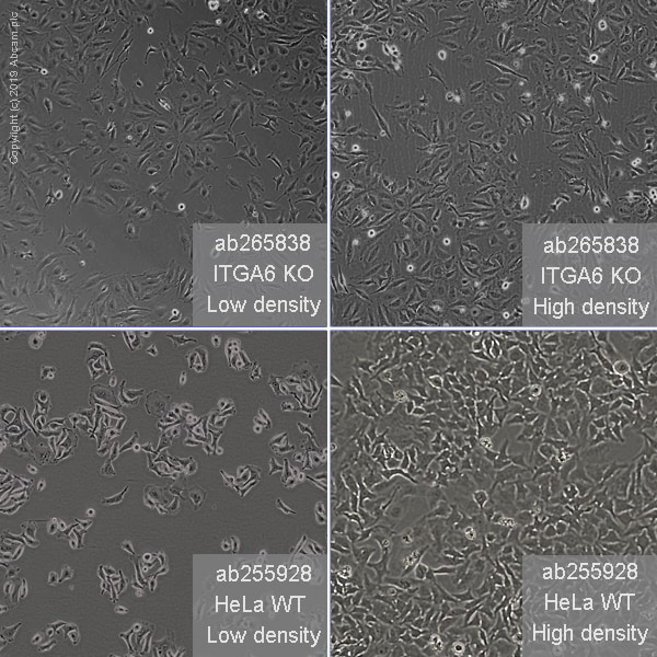 Other - Human ITGA6 knockout HeLa cell line (ab265838)