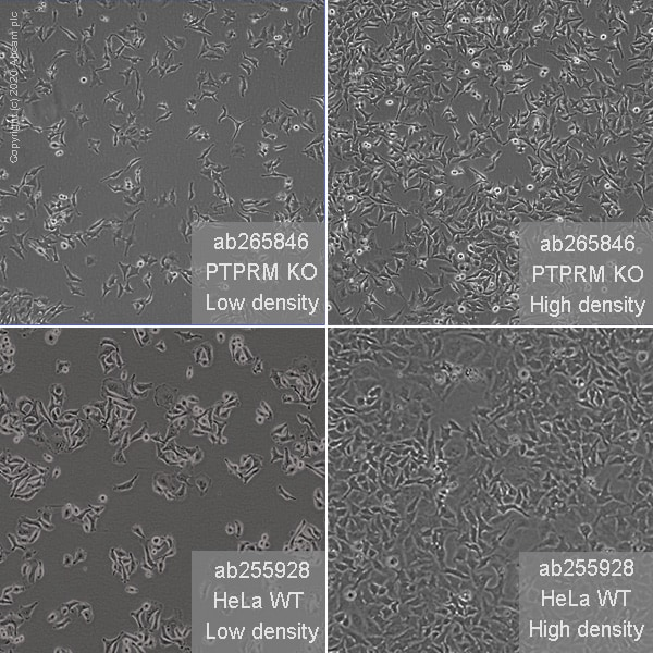 Cell Culture - Human PTPRM knockout HeLa cell line (ab265846)