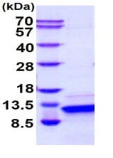 SDS-PAGE - Recombinant human Parathyroid Hormone protein (Active) (ab265858)