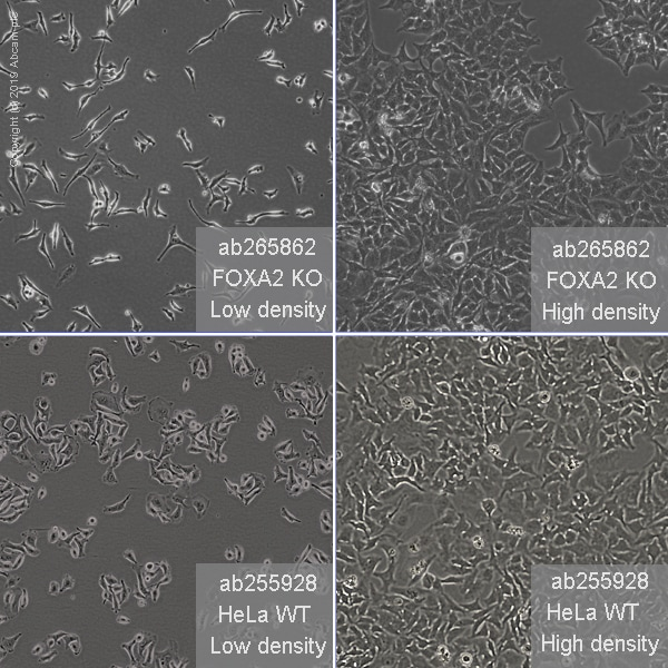 Human FOXA2 knockout HeLa cell line (ab265862)