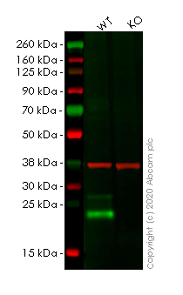 Western blot - Human LY6K (Ly-6K) knockout HeLa cell line (ab265874)