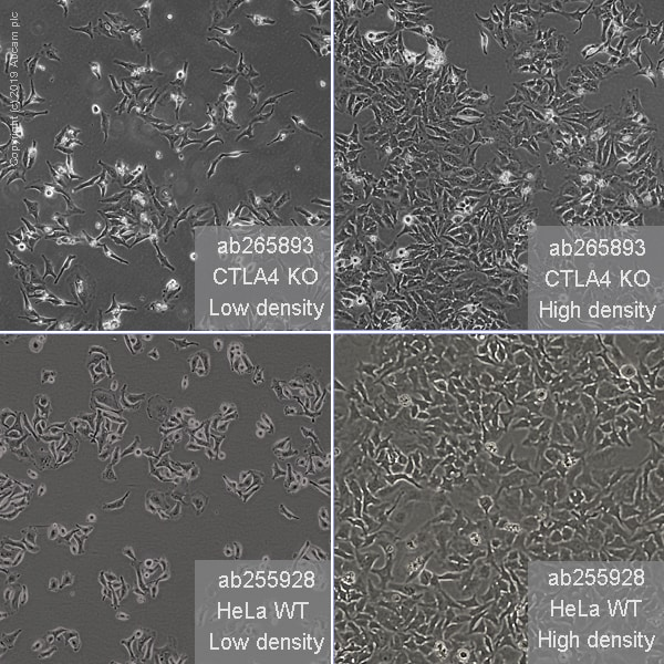 Cell Culture - Human CTLA4 knockout HeLa cell line (ab265893)