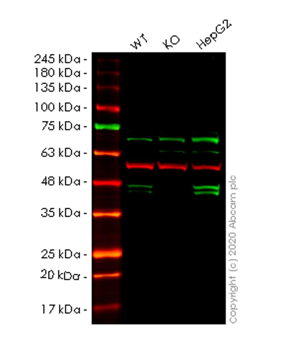 Western blot - Human PON2 knockout HeLa cell line (ab265927)