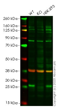 Western blot - Human SIKE1 knockout HeLa cell line (ab265933)