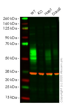 Western blot - Human CD58 knockout HeLa cell line (ab265947)