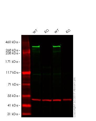 Western blot - Human HTT knockout HeLa cell line (ab265976)