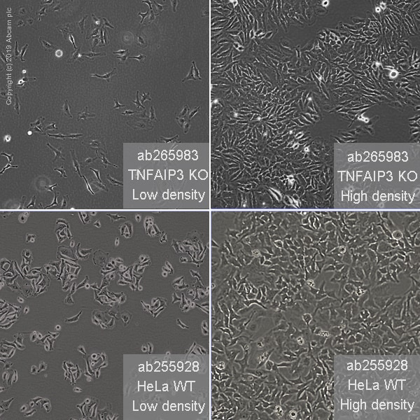 Cell Culture - Human TNFAIP3 knockout HeLa cell line (ab265983)