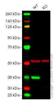 Western blot - Human CDK6 knockout HeLa cell line (ab266059)