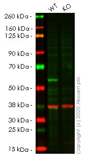 Western blot - Human TRAF2 knockout HEK293T cell line (ab266060)