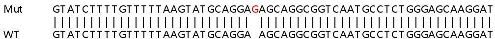 Sanger Sequencing - Human COA1 knockout HEK293T cell line (ab266074)