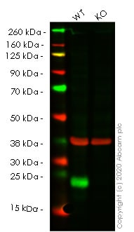 Western blot - Human PPIF (Cyclophilin F) knockout HEK293T cell line (ab266077)