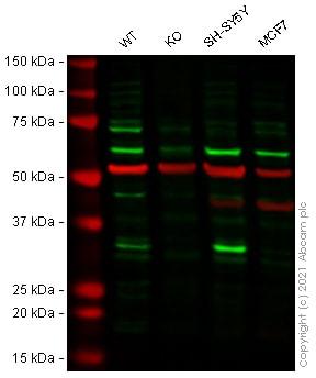 Western blot - Human CDK5 knockout HEK-293T cell line (ab266089)