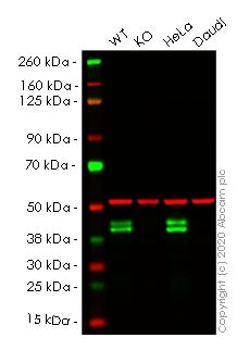 Western blot - Human RCN1 (RCN) knockout HEK293T cell line (ab266098)