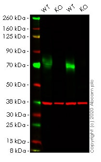 Western blot - Human PVR (Poliovirus Receptor) knockout HEK293T cell line (ab266102)