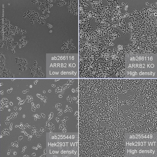 Cell Culture - Human ARRB2 (Beta Arrestin 2) knockout HEK293T cell line (ab266116)